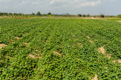 Bataat (Ipomoea batatas). Royalty-vrije Stock Fotografie