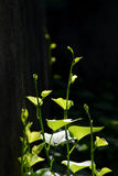 Bataatboom Stock Afbeelding