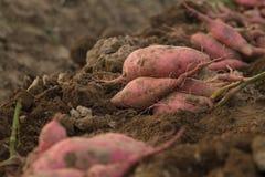 Bataatrij op vuil na oogst bij organisch landbouwbedrijf royalty-vrije stock foto