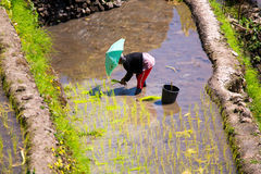 03 by Batad, Filippinerna för mars 2015 Bonde som planterar ris I Arkivbild