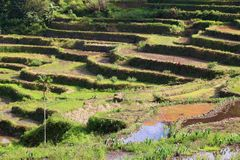 Batad rice terraces. Philippines rice terraces - rice cultivation in Batad village (Banaue area Stock Photos