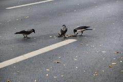 Bataille de nourriture de corneilles sur la route goudronnée photographie stock libre de droits