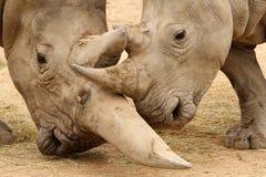 Bataille 4 de rhinocéros blanc Images libres de droits