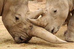 Bataille 3 de rhinocéros blanc Photo stock