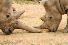 Bataille 8 de rhinocéros blanc Photo libre de droits