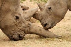 Bataille 12 de rhinocéros blanc Images libres de droits