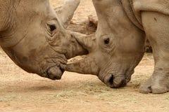 Bataille 17 de rhinocéros blanc Photographie stock