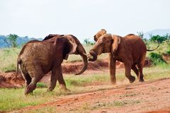 Bataille des éléphants Image libre de droits