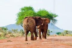 Bataille des éléphants Photos libres de droits