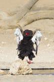 Bataleur Eagle Image libre de droits