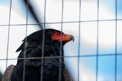 A Bataleur Eagle in an aviary stock images