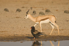 Bataleur and springbok royalty free stock photo