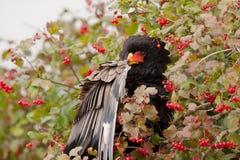 bataleurbär Royaltyfri Bild