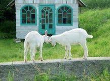Batalha da cabra Fotografia de Stock Royalty Free