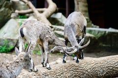 Batalha de cabras de montanha, uma luta fotos de stock