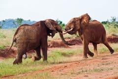 Batalha dos elefantes Foto de Stock Royalty Free