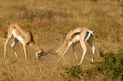A batalha feroz de dois Gazelles de Grant´s Imagem de Stock