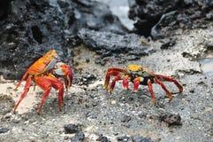 Batalha vermelha dos caranguejos de rocha para o território foto de stock