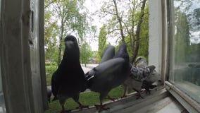 Batalistyczni gołębie na nadokiennym parapecie zbiory