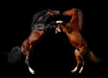 Batalla de caballos Fotografía de archivo
