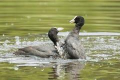 Batalla de las aves acuáticas Imágenes de archivo libres de regalías