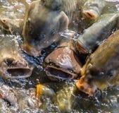 Batalla de los pescados para la comida imagen de archivo