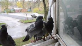 Batalla de palomas en alf?izar Palomas de la lucha Las palomas se luchan metrajes