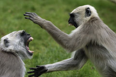 Batalla del mono Foto de archivo libre de regalías