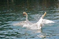 Batalla dominante de dos cisnes imágenes de archivo libres de regalías