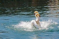 Batalla dominante de dos cisnes, Alfalfa foto de archivo libre de regalías