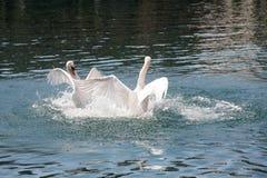 Batalla dominante de dos cisnes en los watwers del río foto de archivo libre de regalías