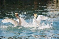 Batalla dominante de dos cisnes, río de Reuss foto de archivo