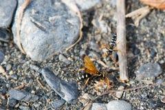 Batalla para las avispas de la araña Fotografía de archivo libre de regalías