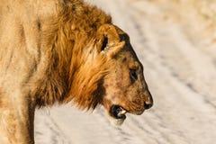 Batalla perdida del león masculino Fotografía de archivo libre de regalías