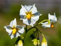 Batata branca da inflorescência. (Tuber??sum do Solanum) Foto de Stock