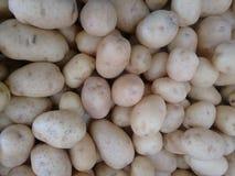 Batata, batata comum, batata irlandesa ou batata branca imagem de stock royalty free