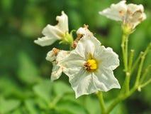Batata de florescência Fotografia de Stock