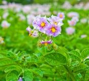 Batata de florescência Imagem de Stock Royalty Free