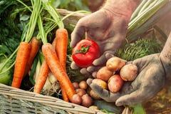 Batata e tomate nas mãos do fazendeiro Fotografia de Stock Royalty Free