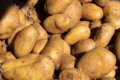 A batata orgânica fresca está para fora entre muitos grandes potatos do fundo Imagens de Stock