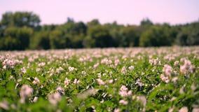 Batata que cresce em plantações As fileiras de arbustos verdes, florescendo da batata crescem no campo de exploração agrícola bra video estoque