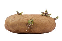 Batata Sprouted Imagens de Stock Royalty Free