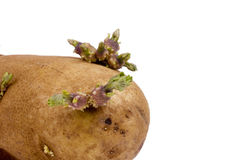 Batata Sprouted Fotos de Stock Royalty Free