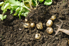 Batatas. Fotografia de Stock Royalty Free