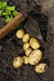 Batatas Imagem de Stock Royalty Free