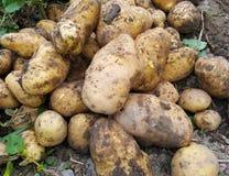 batatas colhidas frescas no jardim Foto de Stock