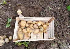 batatas colhidas frescas no jardim Imagem de Stock