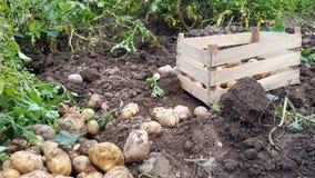 batatas colhidas frescas no jardim Imagens de Stock