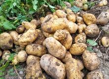 batatas colhidas frescas no jardim Imagens de Stock Royalty Free