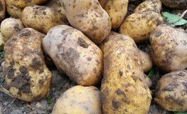 batatas colhidas frescas no jardim Fotografia de Stock Royalty Free